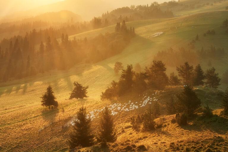 Wypas owiec pod Wysokim Wierchem 13