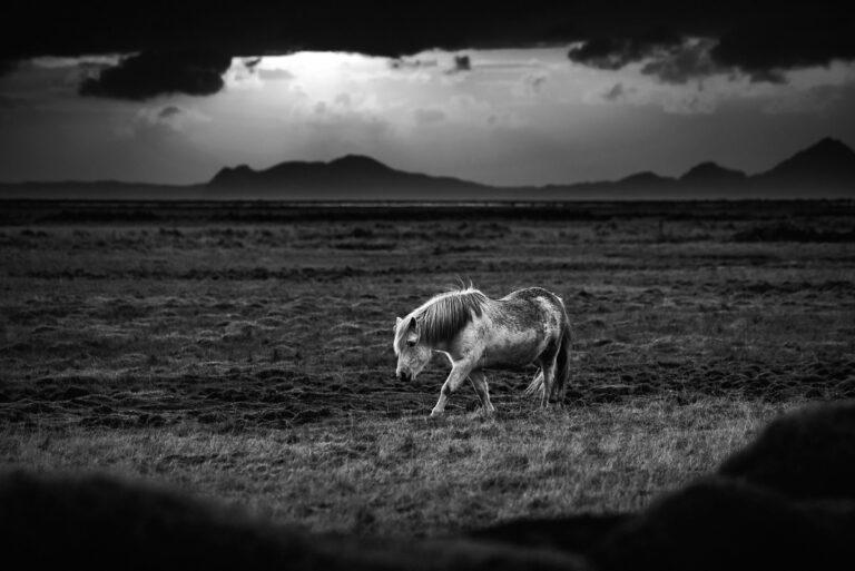 bialy kon na islandii 15