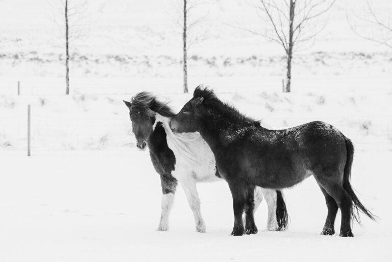 dwa konie przytulaja sie 28