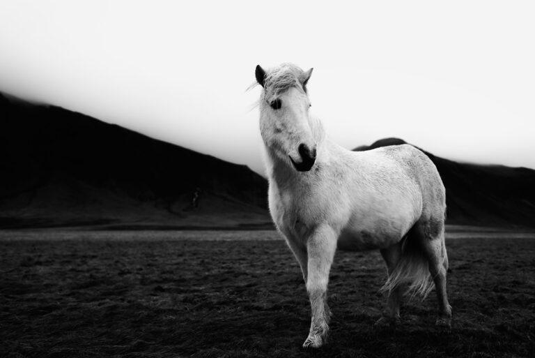 kon na islandii 40