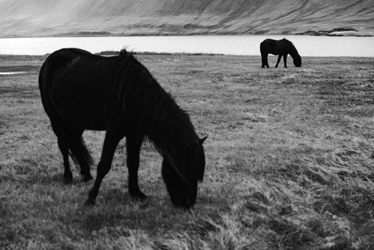 konie w czerni i bieli 14