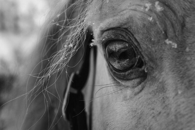oko konia 31